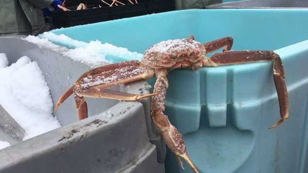 Un crabe des neiges fraîchement pêché.