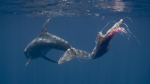 L'arrière d'un dauphin qui nage en trainant sur sa queue des sacs de plastique.