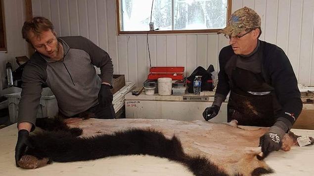 Deux trappeurs étendent une peau d'ours.