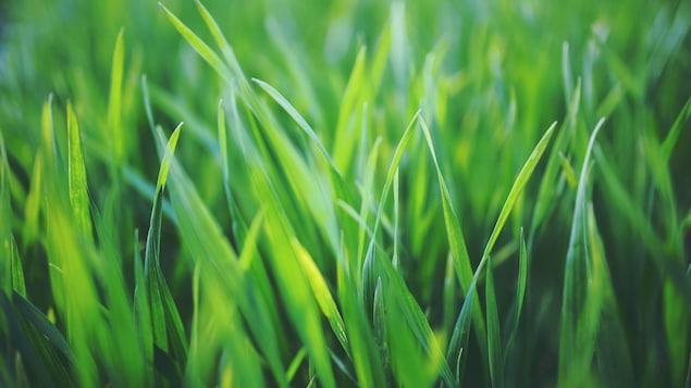 Une image rapprochée de gazon vert.