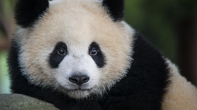 protection d 39 esp ces vuln rables le succ s de la chine avec le panda g ant l 39 heure du monde. Black Bedroom Furniture Sets. Home Design Ideas