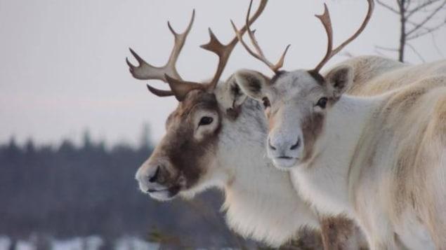 Des caribous en gros plan, en arrière plan, une forêt.