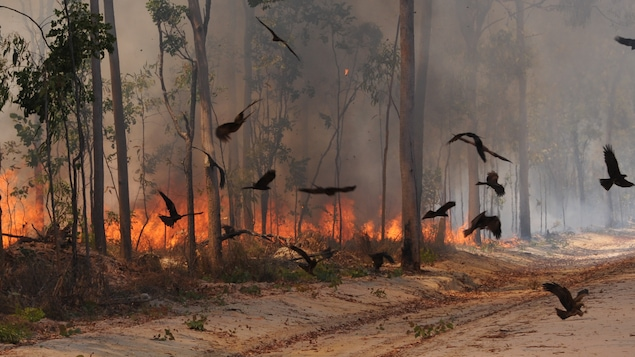 Des Milans Noirs encerclent un feu de broussaille sur la péninsule du cap York, en Australie.