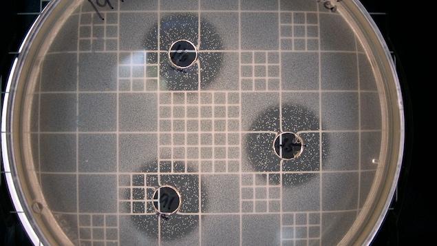 Une plaquette de laboratoire où on voit une bactérie lactique de moule bleue.