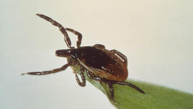 La tique responsable de la transmission de la maladie de Lyme