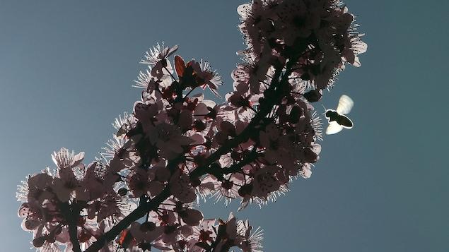 Une abeille butine les fleurs d'un arbre sous un ciel bleu, par une belle journée de printemps.