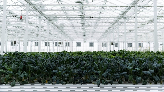 Des plants de chou frisé poussent dans les l'une des serres des Fermes Lufa, à Montréal