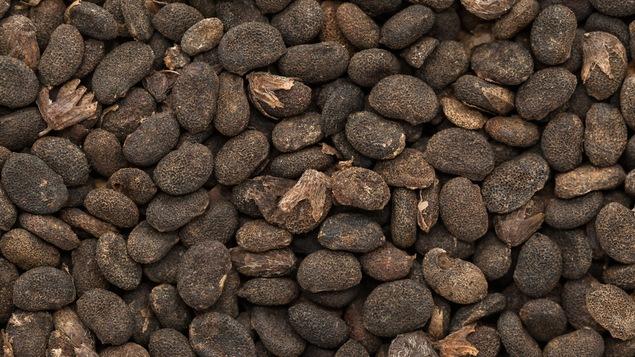 Des graines de babchi séchées.