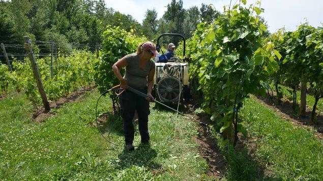 Un homme et une femme au travail dans le vignoble du Domaine Bergeville, dans les Cantons-de-l'Est.