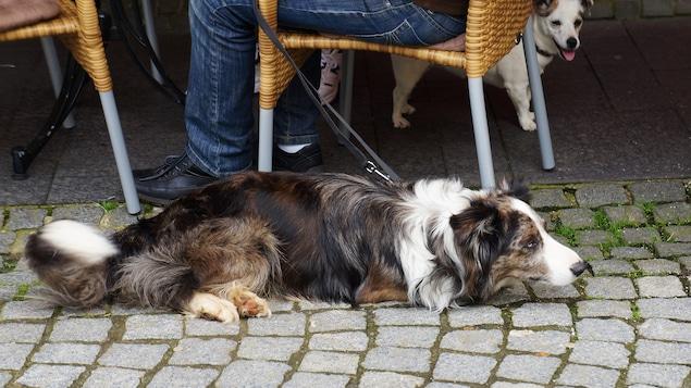 Il n'est pas toujours évident, au Québec, de trimbaler son chien dans les espaces publics, comme sur la terrasse d'un restaurant.