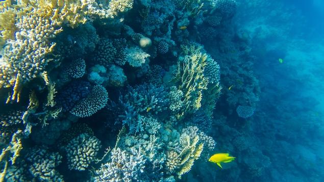 Un poisson passe devant des coraux.