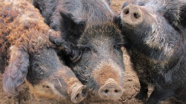 Trois sangliers d'élevage entassés devant la caméra