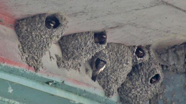 Gros plan sur cinq nids de terre séchée dans lesquels on voit la tête d'hirondelles.
