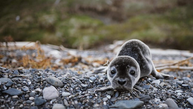 Le jeune phoque de plage Évangéline