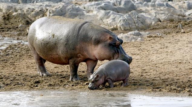 Les hippopotames aiment se baigner.