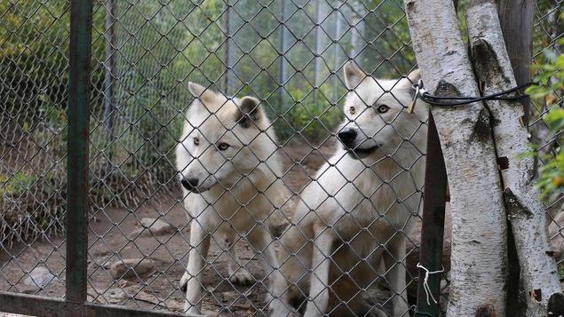 Deux coyotes dans un enclos.