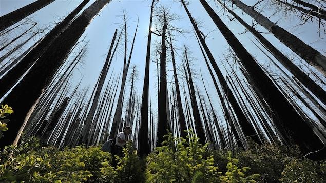 Arbres brûlés et régénération de la flore dix ans après un feu de forêt.