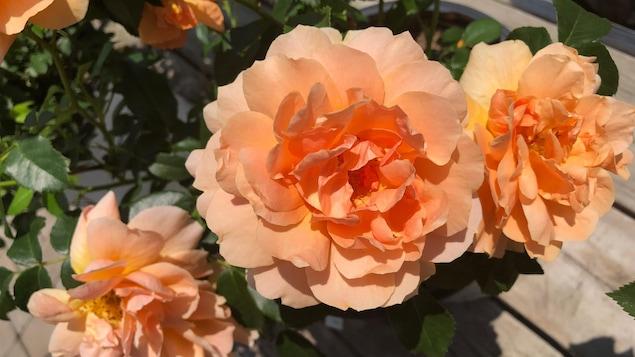 Un rosier de type at last