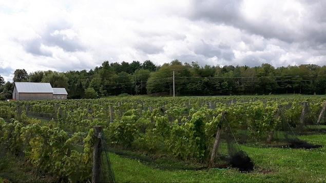 Plusieurs vignes de raisins