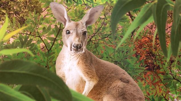 Un kangourou dans la foret.