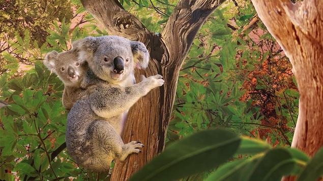 Un koala sur un arbre dans la forêt.