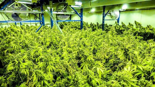 Du cannabis dans un grand hangar.