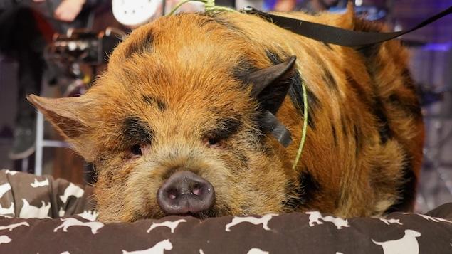 Cochon roux et noir couché sur un coussin en studio.