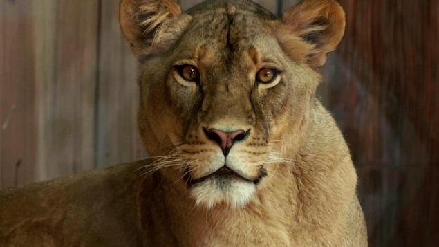 Une lionne vivant dans un zoo.