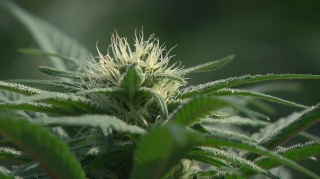 Enquête sur les structures corporatives opaques qui rendent les contrôles promis du cannabis à peu près impossibles.