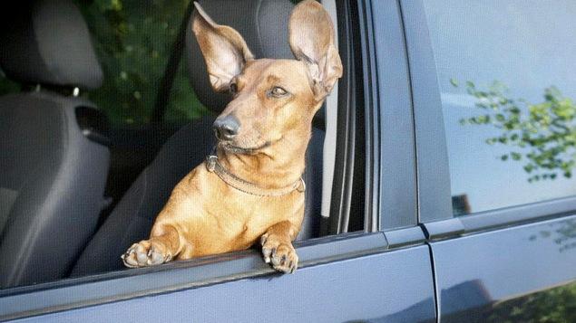 Un chien a le vent dans les oreilles.