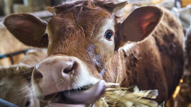 La première insémination d'une vache peut marquer un homme comme Marc Laurendeau.