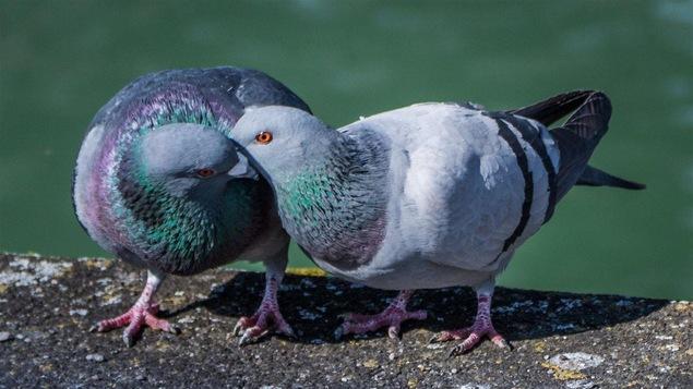 Deux pigeons qui ont la fièvre du printemps.