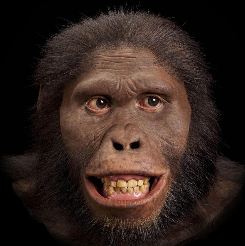 Reconstitution de la tête d'un Australopithecus africanus.