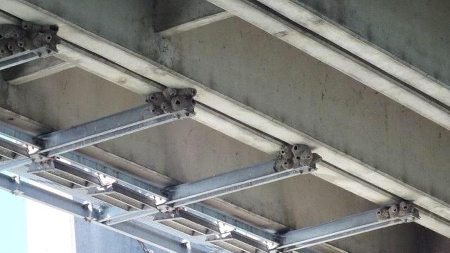 Photo montrant le dessous d'un pont avec des dizaines de nids de terre séchée agglomérés les uns aux autres sur des poutres.