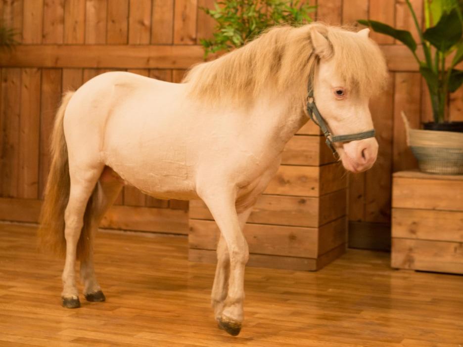 Un petit cheval blanc dans un décor de boiseries.